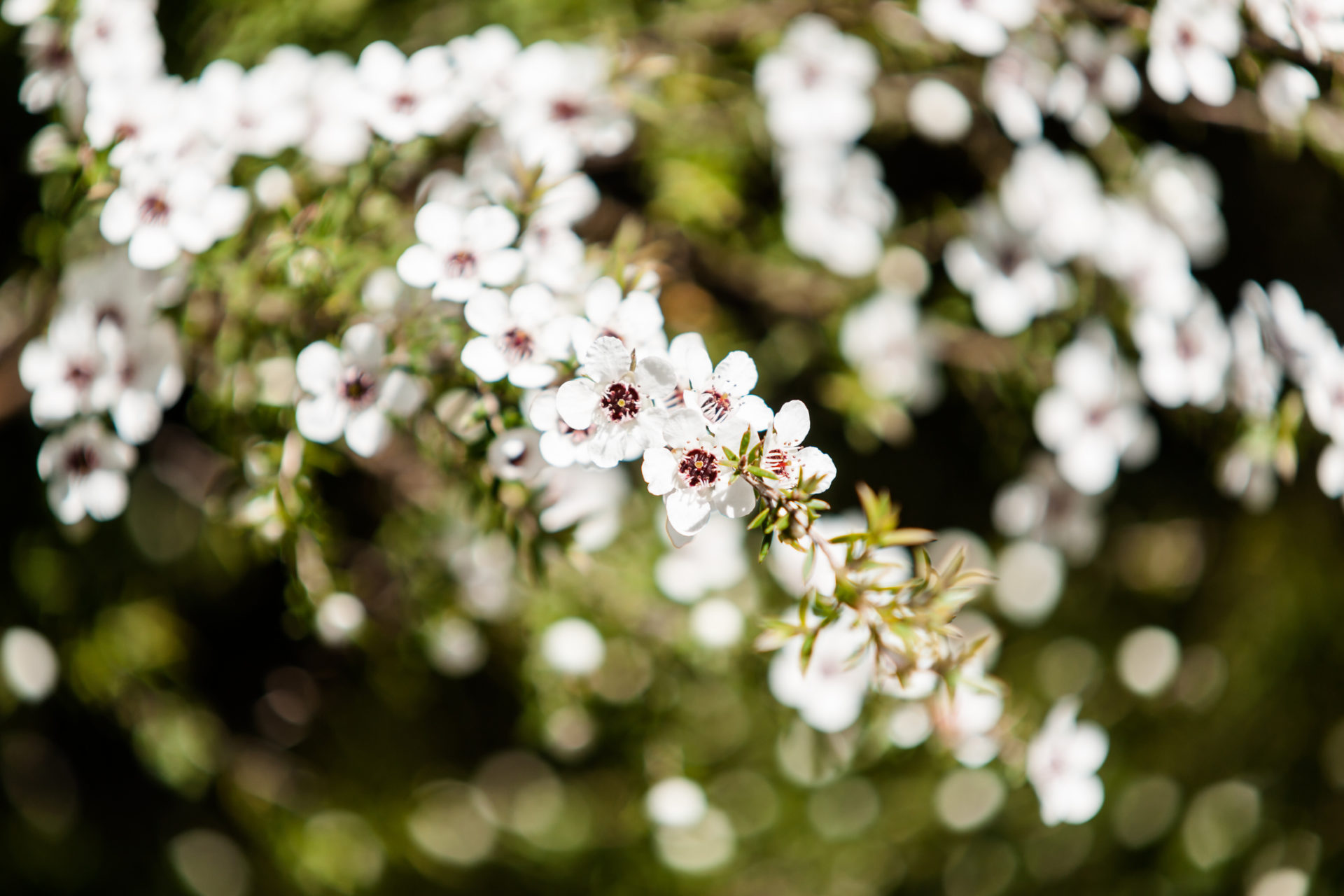 flowering plant in the myrtle family New Zealand manuka